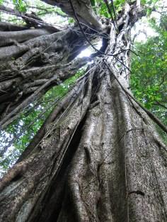 Der bärtige Baum