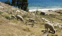 Schafe ...