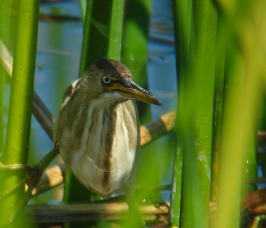 Least Bittern: Viera Wetlands, FL