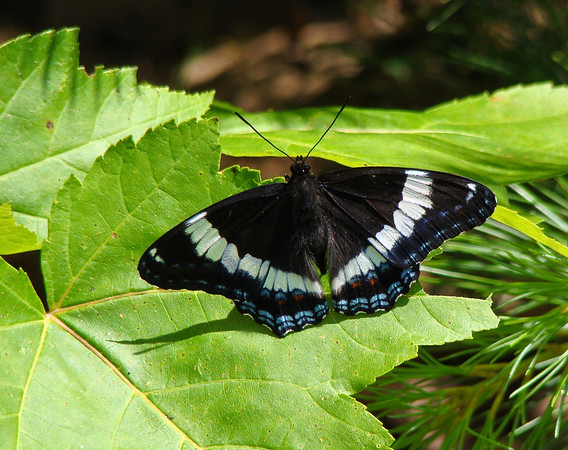 Black Admiral (open wings)