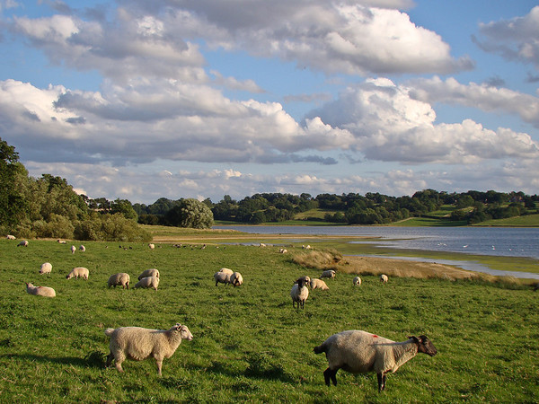 Late Light and Sheep along Rutland Water