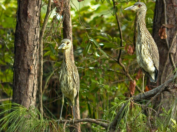 Youngens (Yellow-crowned Night Herons)