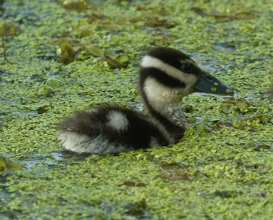 Black-bellied Whistling Duck Chick