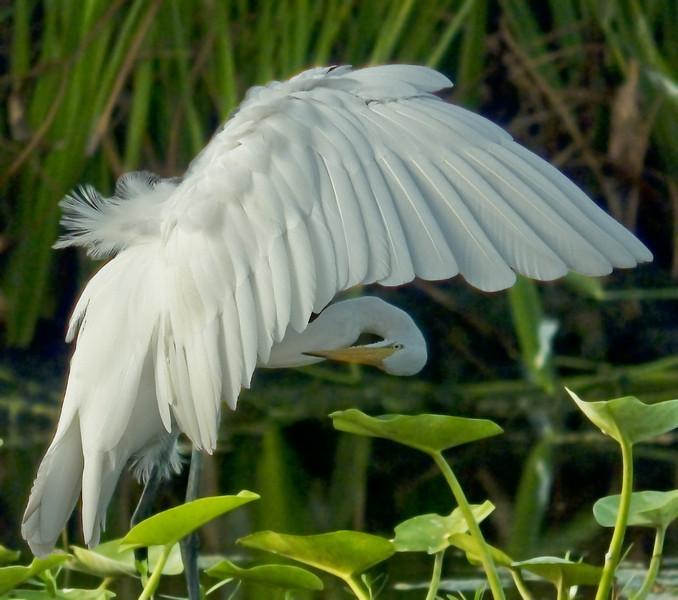 Edited Egret