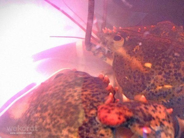 lobster101