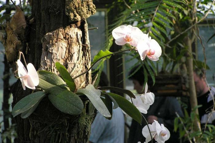 falenopsis-v-prirode