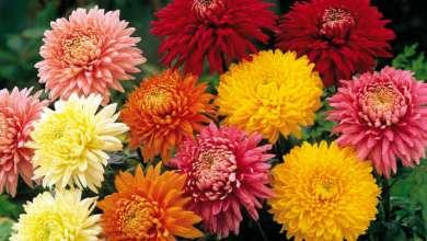 Chrysanthema-1