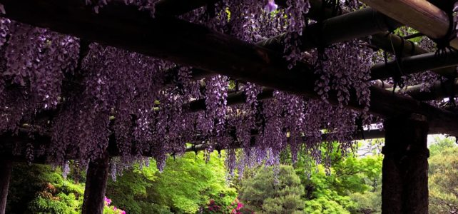 The wisteria and azaleas in Jonangu Shrine.