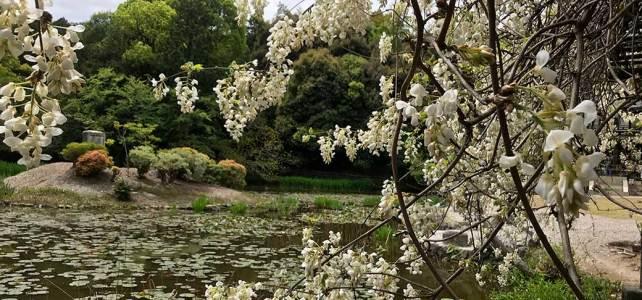 Fantastic path and white wisterias. Kaju-ji Temple.