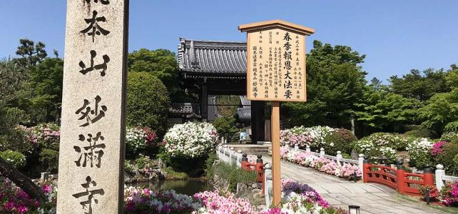 An azalea heaven – Myomanji Temple in Iwakura area.