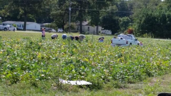 "Workers picking ""soldier peas"""