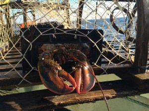 Removing Lobster from Trap