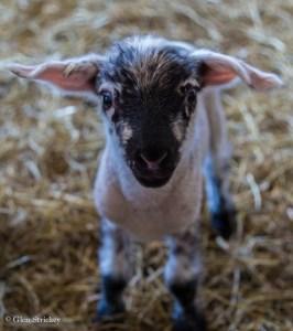 Lamb at a farm in Flat River