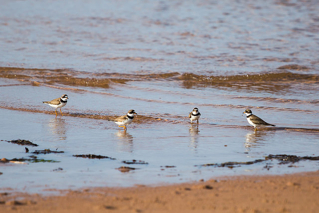 Piping Plovers - Photo by Carrie Gregory ©Tourism PEI