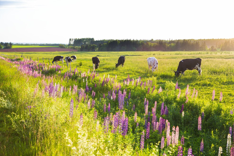 COWS and Lupins