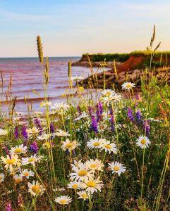 Wldflowers in PEI