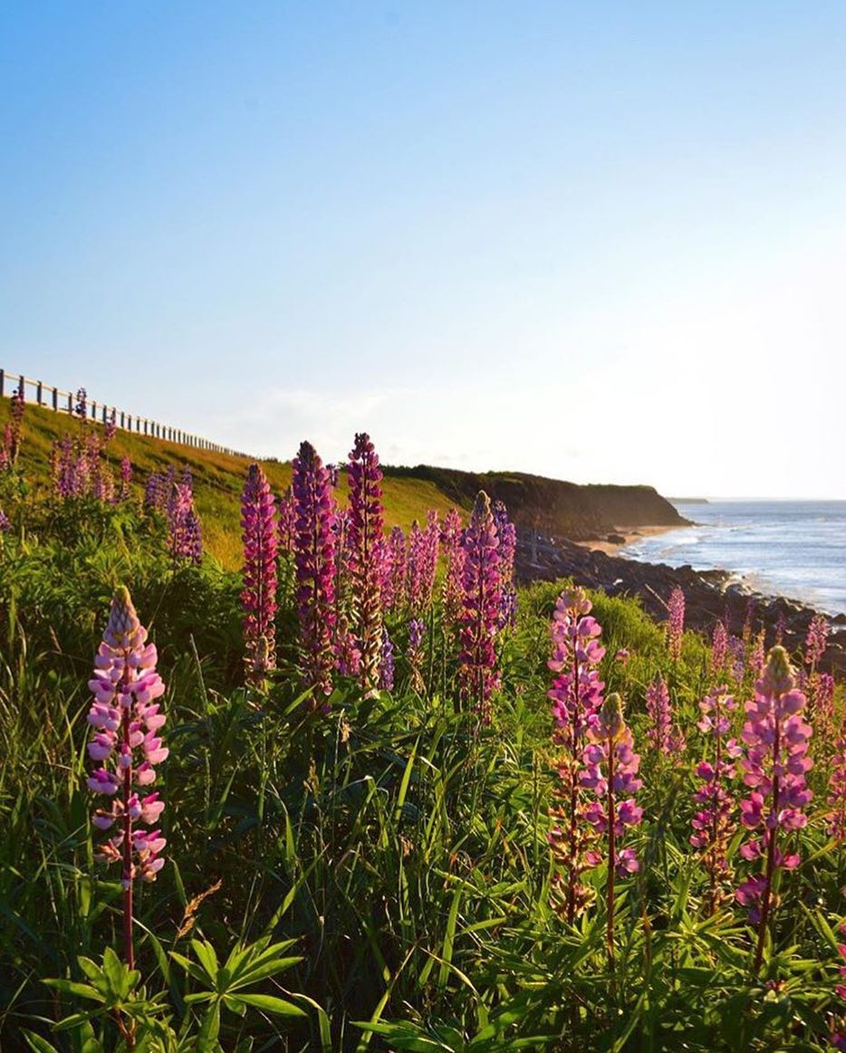 Lupins in PEI