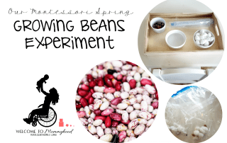 Our Montessori Spring: growing beans experiment #montessori #montessoriactivities