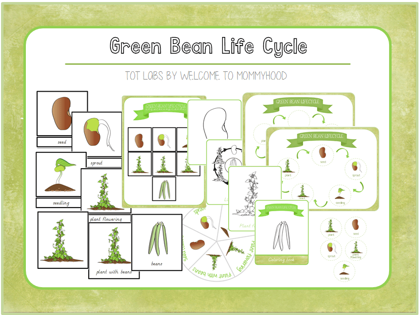 Montessori inspired Green bean life cycle printables
