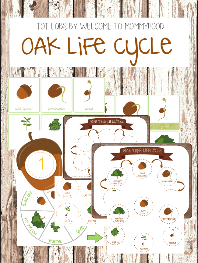 Oak Tree Life Cycle Printables (life cycle of an acorn): Learn More about how to use these printables at Welcome to Mommyhood #montessoriprintables #oaktreeprintables #lifecycleprintables #oaktreelifecycle #montessoriprintables