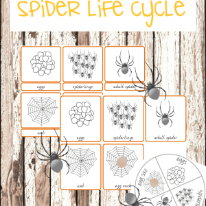 Montessori inspired spider life cycle printables #montessoriactivities #montessoriprintables #spiderlifecycle