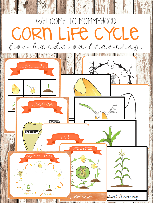 Life Cycle of Corn Plant Montessori Thanksgiving Printables by Welcome to Mommyhood