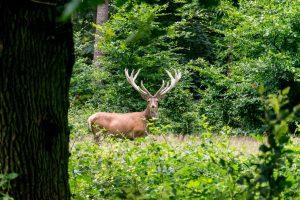Wild in de Hoge Veluwe