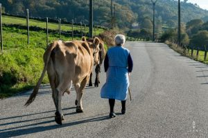 old woman walking with cows on the streets in Galicia