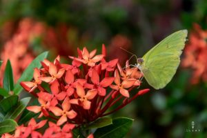 Green butterfly eating from a red flower