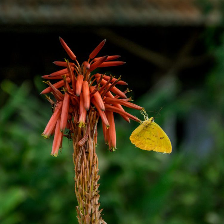 Yellow butterfly hanging on a tropical red flower