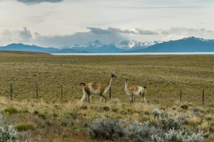 Guanacos running free in the Patagonian steppe