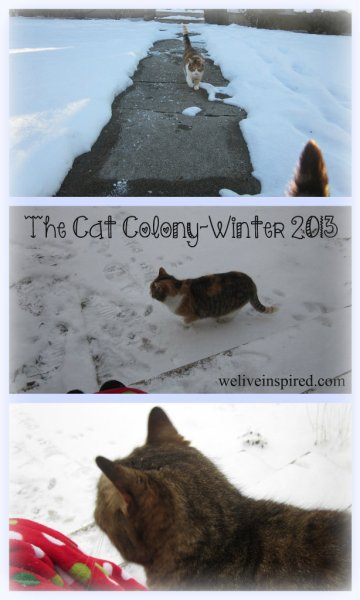 Colony Cats in Snow