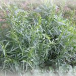 French Tarragon Growing in an Herb Garden Outside