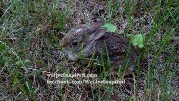 Wild Baby Bunny Rabbit
