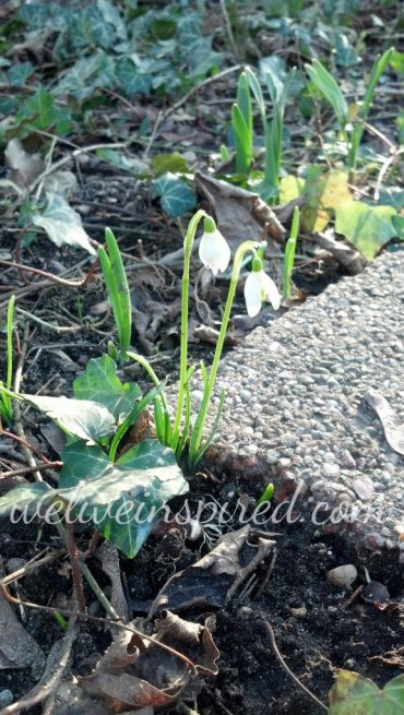 Snowdrop friends 2