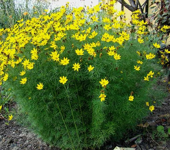 Coreopsis has a feathery leaf that is similar to dill.  The flowers are the same color too as you will see in the next photo.