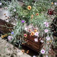 Cozy Cottage Weekends-My Victorian Scatter Garden Seeds Bloomed!