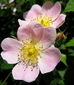 Rose homeopathic remedy and flower essence