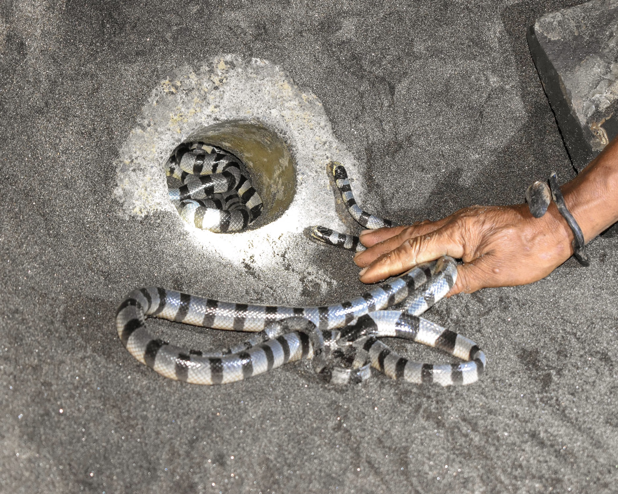 Holy Snakes at Tanah Lot in Bali