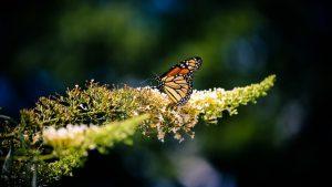 Monarchvlinder 2