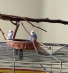 wellensittiche blog vermittlungen männchen weibchen paar 3 jahre alt