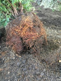 Tree Root Ball