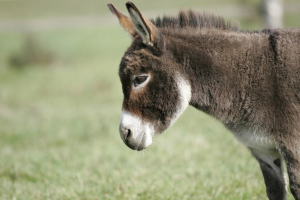Miniature Donkeys for sale in the UK Wellground