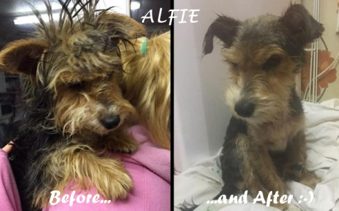 Poor little ALFIE came to us in a very neglected condition, covered in lice and ticks with his coat tangled in tight knots! Thanks to Zoe's patience and care he looks like a different dog, is so much happier and pain free!