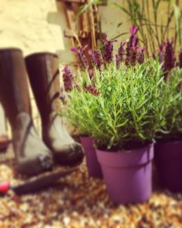 Wellies and Lavender
