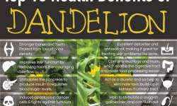 top 10 health benefits of dandelion