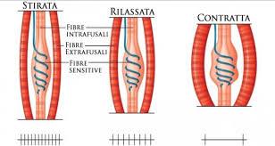 muscolo contratto