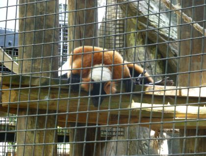 Red Ruffed Lemur at Central Florida Zoo