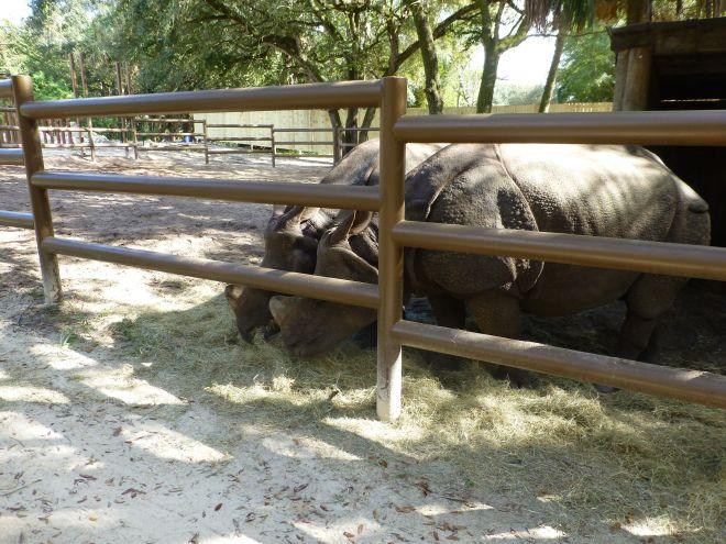 Rhinos at Central Florida Zoo