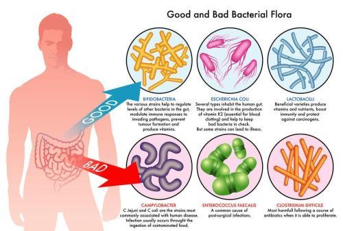 แบคทีเรียที่ดีและไม่ดีในลำไส้